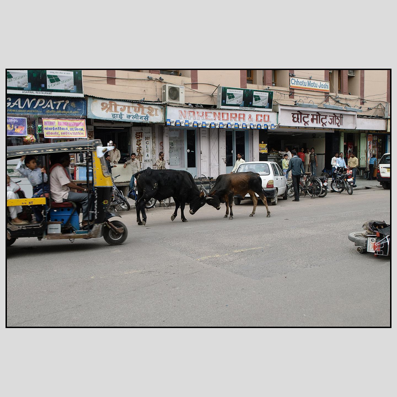 A bullfight near Bikaner Junction railway station.